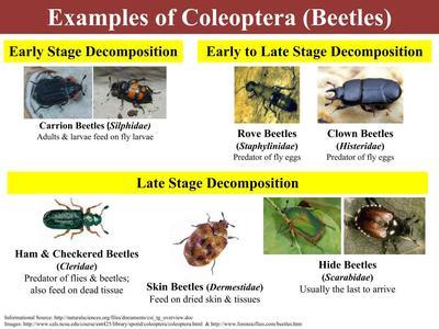 Forensic Entomology Sutori