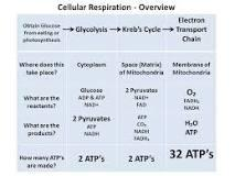 respiration cellular electron transport reactants chain glycolysis cycle copy sutori acid reduced during