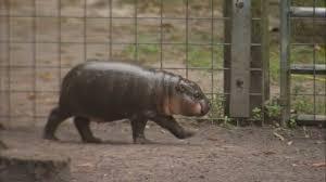 The Life Cycle of A Hippopotamus | Sutori