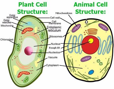 Plant Cell Vs Animal Cell | Sutori